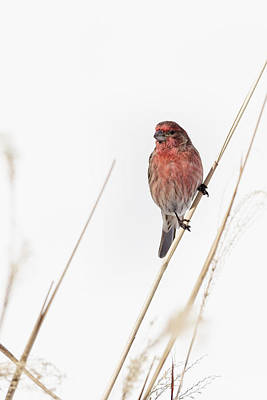 Finch Photograph - House Finch Male by Bill Wakeley