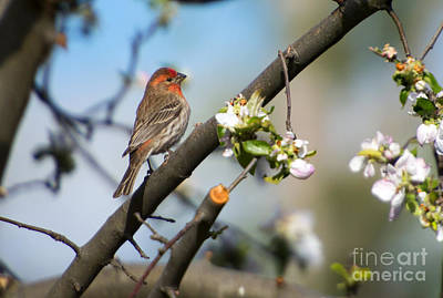 House Finch Print by Mike Dawson