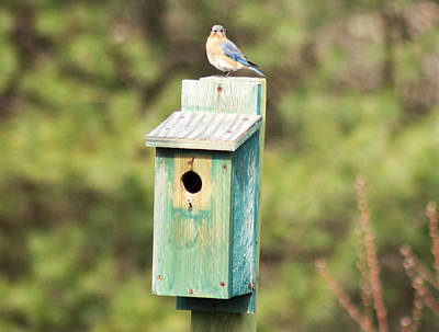 Bird Photograph - Eastern Bluebird Sialia Sialis 1 by Howard Tenke