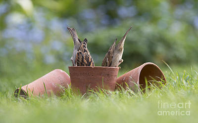 Sparrow Photograph - House Sparrows Feeding by Tim Gainey