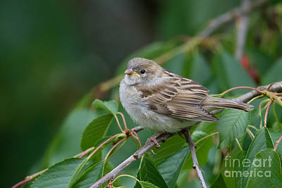 House Sparrow Print by Frank Derer