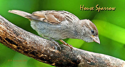 Print featuring the photograph House Sparrow Juvenile Poster Image by A Gurmankin