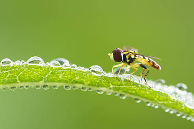 Hoverfly In Dew Print by Mircea Costina Photography