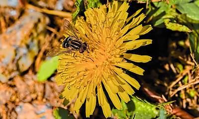 Hoverfly On Dandelion. Print by Leif Sohlman