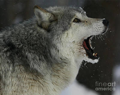 Howling Gray Wolf  Print by Inspired Nature Photography Fine Art Photography