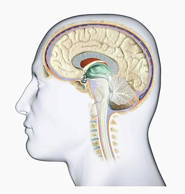 Human Brain Photograph - Human Brain by Dorling Kindersley/uig