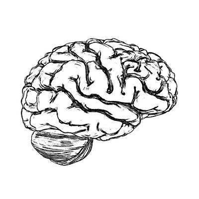 Human Brain Photograph - Human Brain by Russell Kightley
