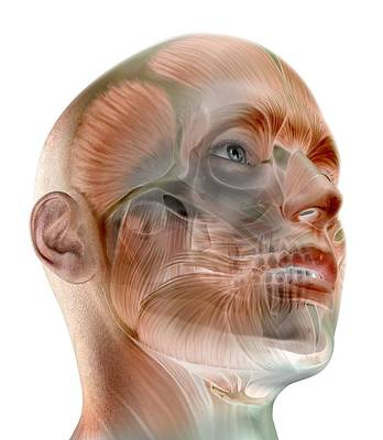 Human Facial Muscles, Artwork Print by Science Photo Library