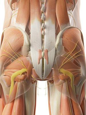 Buttocks Photograph - Human Gluteal Muscles by Sciepro