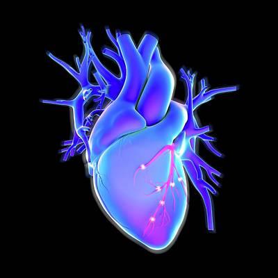 Human Internal Organ Photograph - Human Heart by Science Artwork
