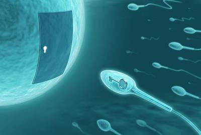 Fertilization Photograph - Human Sperm And Egg by Ktsdesign