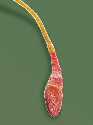 Human Sperm Cell Print by Steve Gschmeissner