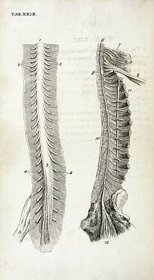 The Human Body Photograph - Human Spine And Nerves by British Library