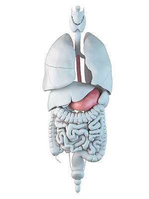 Human Internal Organ Photograph - Human Stomach by Sciepro
