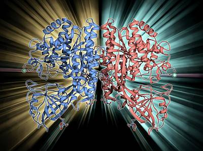 Molecular Structure Photograph - Human Transferrin Receptor Molecule by Laguna Design