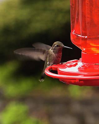 Humming Bird Landing Print by Ron Roberts