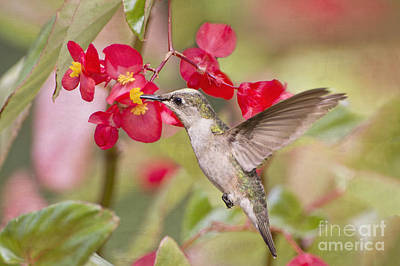 Hummingbird And Begonias Print by Bonnie Barry