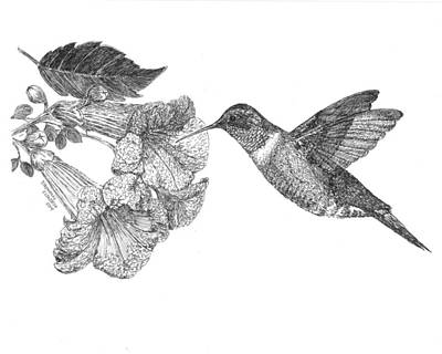 Drawing - Hummingbird And Trumpet Creeper by Stephany Elsworth