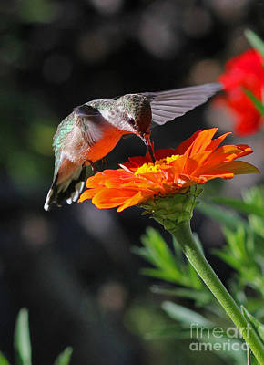 Hummingbird And Zinnia Print by Steve Augustin