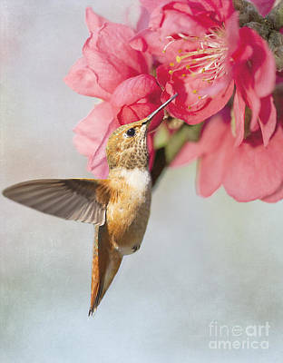 Hummingbird Photograph - Hummingbird At Cherry Blossom by Susan Gary