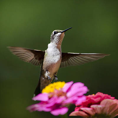 Hummingbird Photograph - Hummingbird by Christina Rollo