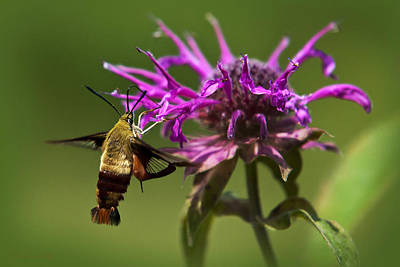 Butterfly In Flight Photograph - Hummingbird Clearwing Moth by Christina Rollo