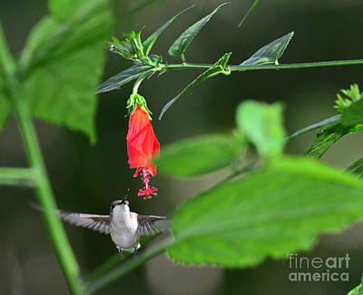 Bird Photograph - Hummingbird Flies To Red Turks Cap by Wayne Nielsen