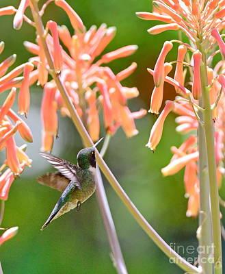 Nature Photograph - Hummingbird Green Floats At Aloe Orange by Wayne Nielsen
