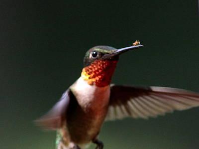 Hummingbird - Hitching A Ride - Ruby-throated Hummingbird Print by Travis Truelove