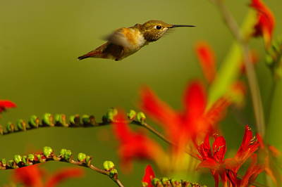 Hummingbird In A Rush Print by Jeff Swan