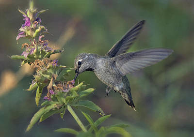 Hummingbird In The Morning Light Print by Saija  Lehtonen