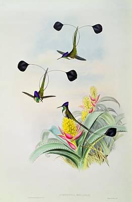 Lithograph Drawing - Hummingbird by John Gould
