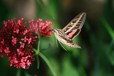 Hummingbird Moth Print by Donna Kennedy