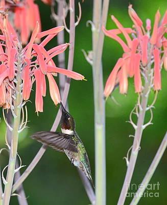 Hummingbird Ruby Throated Sips In Air From Aloe Blooms Print by Wayne Nielsen
