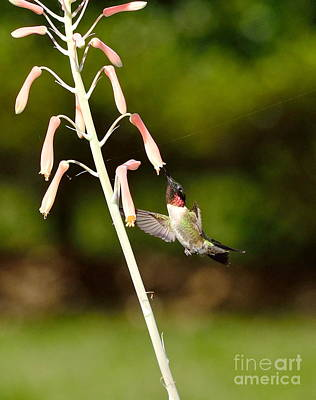 Flower Photograph - Hummingbird Sips Deep - Arches In Perfect Form Into Trumphet by Wayne Nielsen