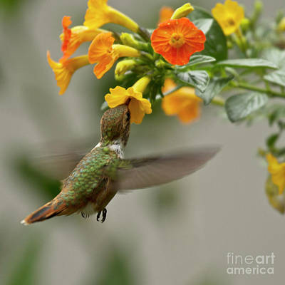 Flying Photograph - Hummingbird Sips Nectar by Heiko Koehrer-Wagner