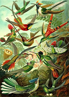 Hummingbirds Birds Trochilidae Haeckel Swifts Print by Movie Poster Prints