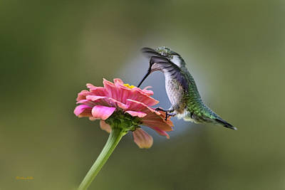 Hummingbird Photograph - Hummingbirds Pure Goodness by Christina Rollo
