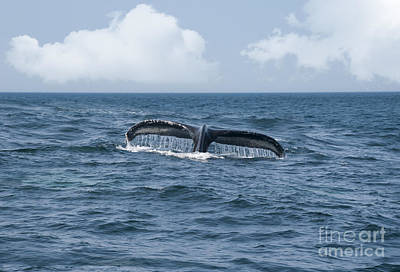 Whale Photograph - Humpback Whale Fin by Juli Scalzi