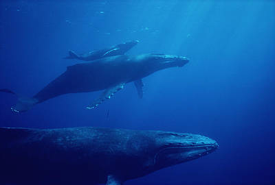 Flip Nicklin Photograph - Humpback Whale Mother Calf And Male by Flip Nicklin