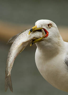 Larus Delawarensis Photograph - Hungry Bird by Mircea Costina Photography