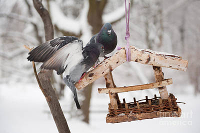 Two Hungry Pigeons Sitting On Bird Feeder  Print by Arletta Cwalina