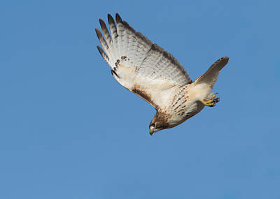 Red Tail Hawk Photograph - Hunting Hawk by Mircea Costina Photography