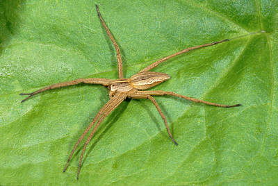 Spider Photograph - Hunting Spider by Nigel Downer