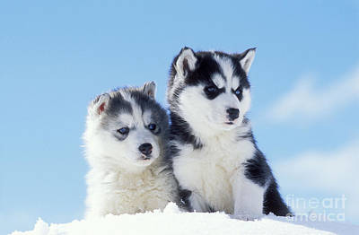 Husky Puppy Dogs Print by Rolf Kopfle