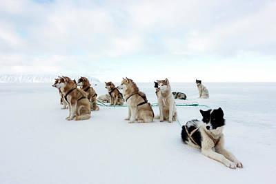 Husky Photograph - Husky Sled Dogs by Louise Murray