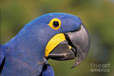 Hyacinth Macaw Print by BG Thomson