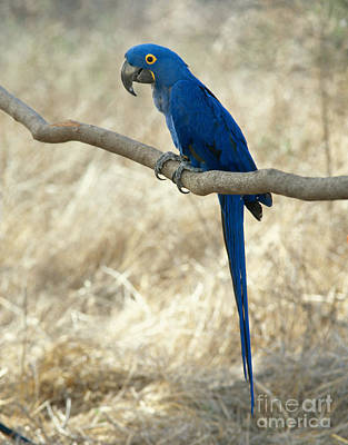 Macaw Photograph - Hyacinth Macaw by Hans Reinhard