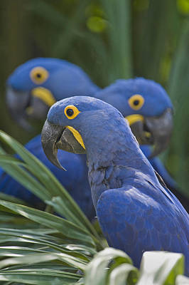 Hyacinth Macaws Anodorhynchus Print by Panoramic Images