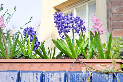 Violet Photograph - Hyacinths by Tom Gowanlock
